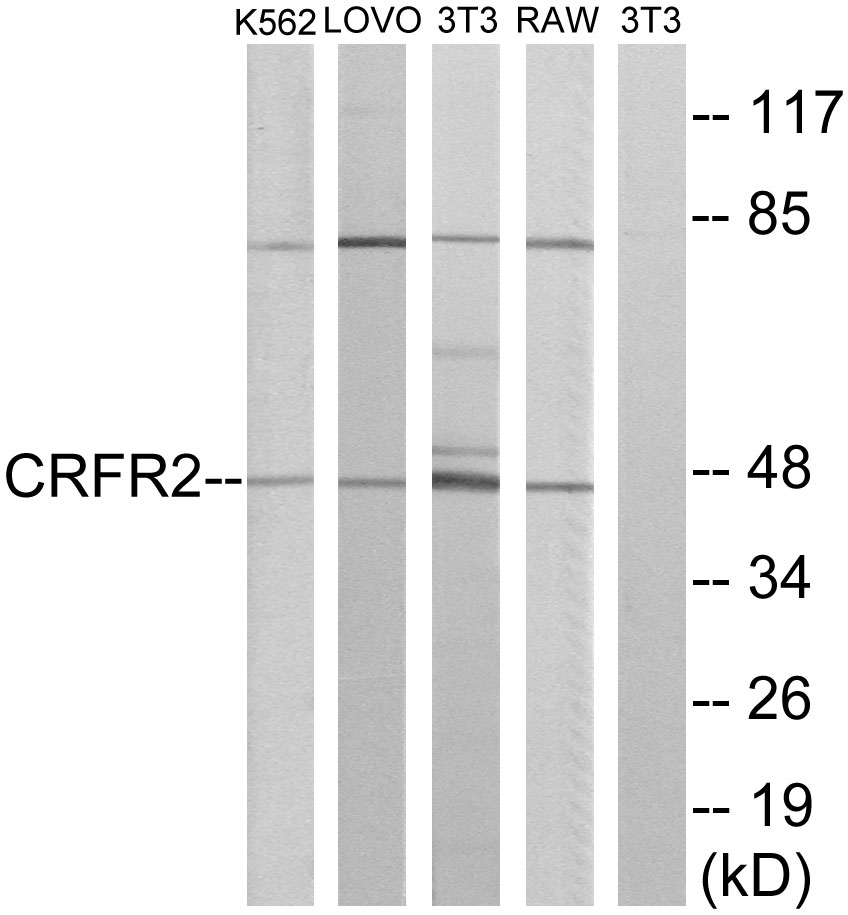 CRHR2 Antibody (OAAF04870) in K562, LOVO, 3T3, RAW264.7 cells using Western Blot