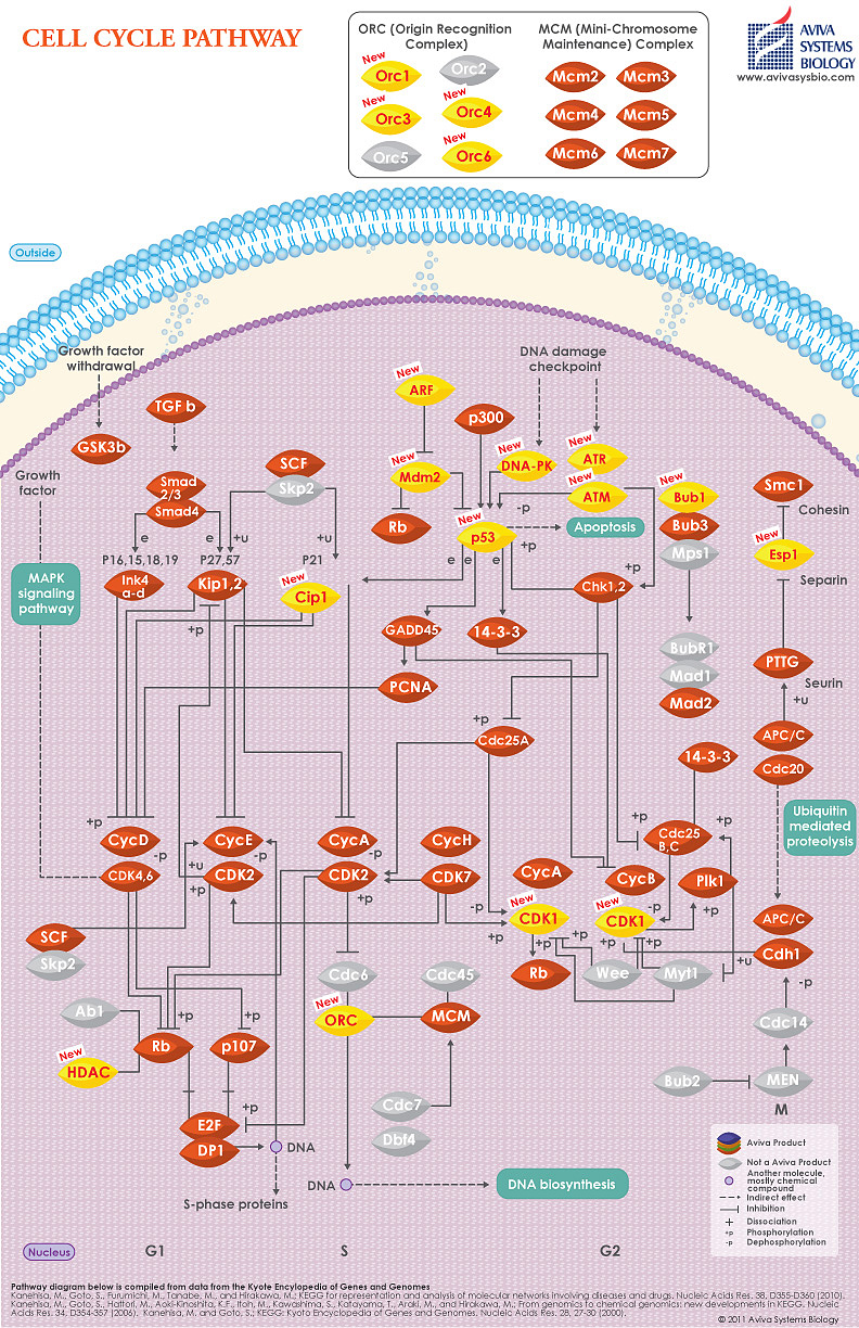 Cell Cycle pathway image by Aviva Systems Biology