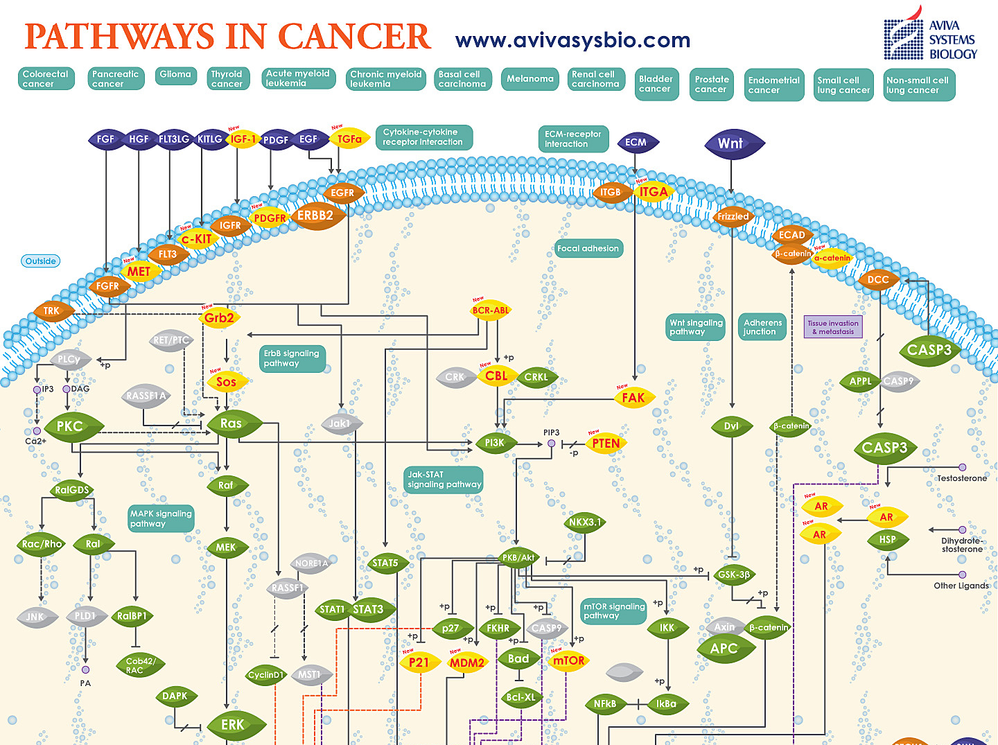 Pathways in Cancer image by Aviva System Biology top