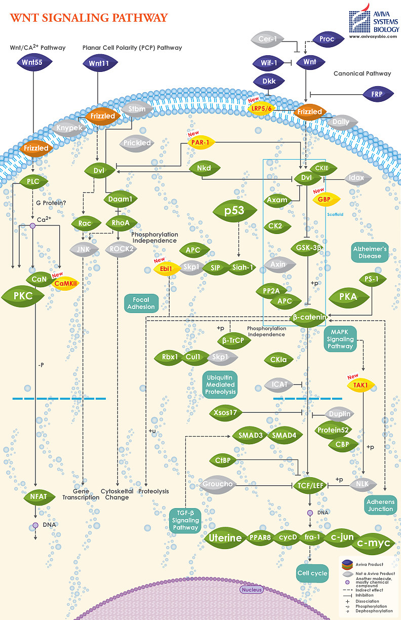 WNT signaling pathway image by Aviva Systems Biology